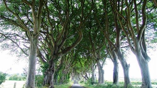 Con đường cây đẹp ma mị ở Bắc Ireland - 1