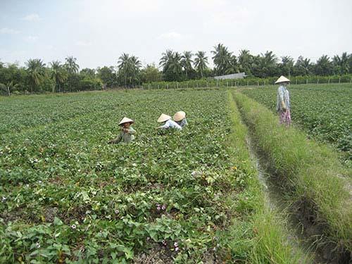 Người trồng khoai lang ngóng thương lái TQ - 1