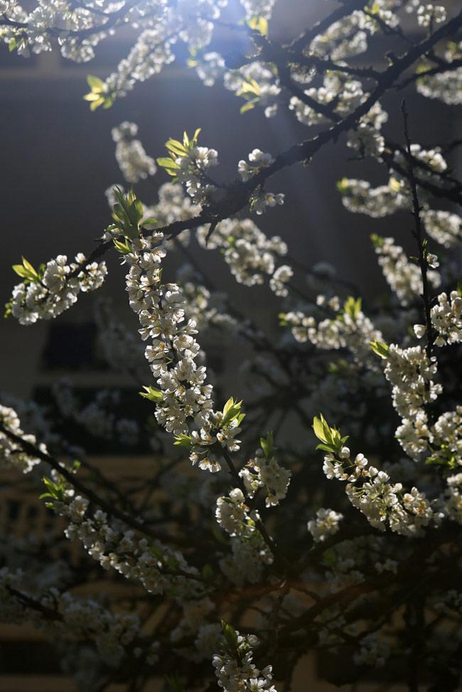 Hoa mận Sa Pa lung linh trong nắng sớm.