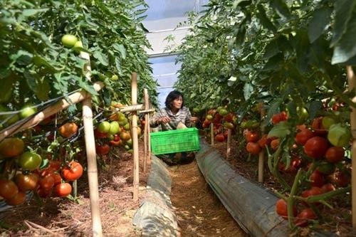 Cà chua Lâm Đồng bị vạ lây vì cà Trung Quốc - 1