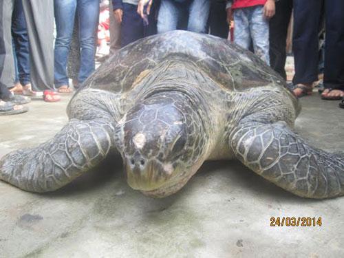 Thả rùa quý hiếm nặng gần 100kg về biển - 1