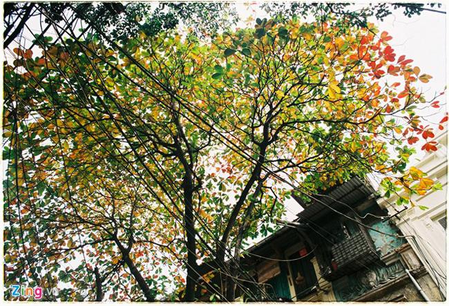 Những ngày cuối đông, Hà Nội dường như được thay một tấm áo mới rực rỡ sắc vàng đỏ của hàng nghìn cây bàng trong mùa thay lá.