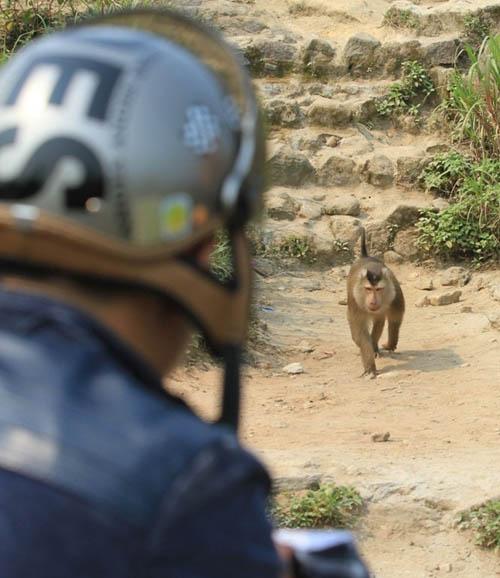 Hàng chục kiểm lâm vây bắt con khỉ tấn công khách quốc tế - 1