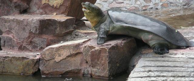 """""""Bà con"""" của rùa Hồ Gươm ở nước ngoài sống thế nào? - 1"""