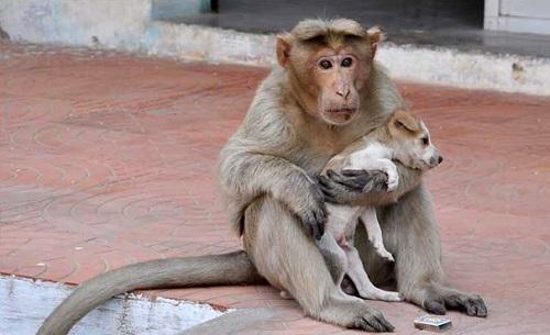 Kỳ lạ: Khỉ mẹ nuôi chó như con - 1