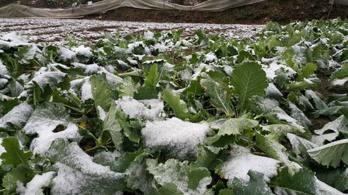 """Lào Cai: Mưa tuyết """"vùi lấp"""" hàng chục tỷ đồng - 1"""