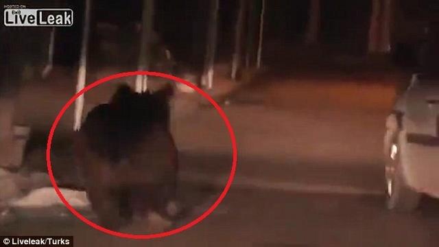 Video gấu nâu chạy tung tăng, cắn người trên phố - 1