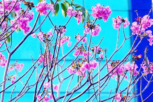 Ảnh: Xốn xang dưới chùm hoa kèn hồng trong nắng Sài Gòn - 1