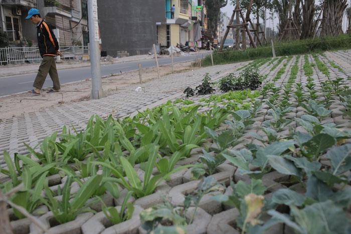 Người Hà Nội leo dốc, trồng rau trên hốc bê tông - 1