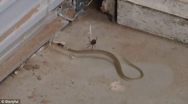 """Rắn lớn giãy giụa thảm hại hòng thoát """"miệng"""" nhện dữ - 1"""