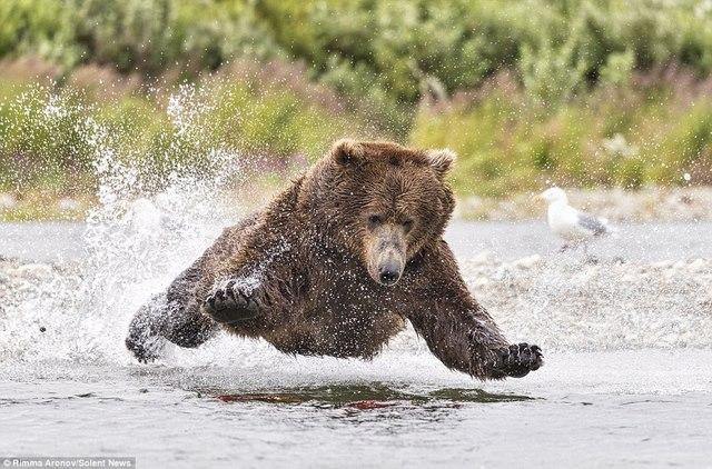 """Gấu nâu 180kg """"bay"""" trên không bắt cá hồi - 2"""