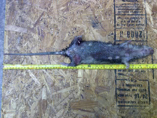 """Bắt được """"siêu chuột"""" kích cỡ lớn hiếm thấy ở Anh - 1"""