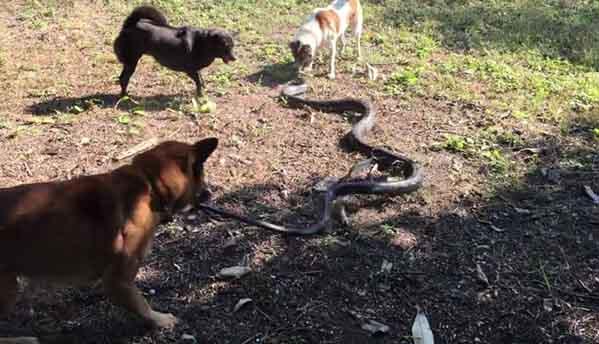 Thái Lan: 4 chú chó đại chiến rắn hổ mang chúa dài 2,5m - 1