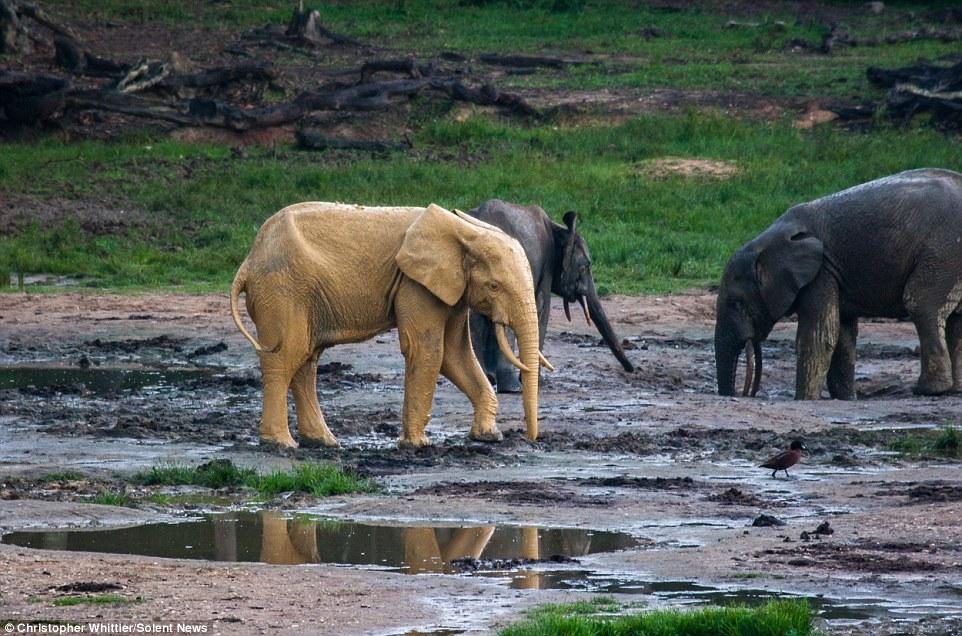 """Voi châu Phi bỗng hóa """"vàng"""" sau khi tắm bùn - 5"""