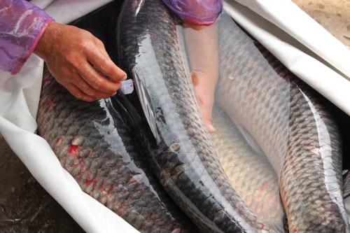 Những lầm tưởng về mật cá trắm có thể khiến trả giá bằng tính mạng - 1