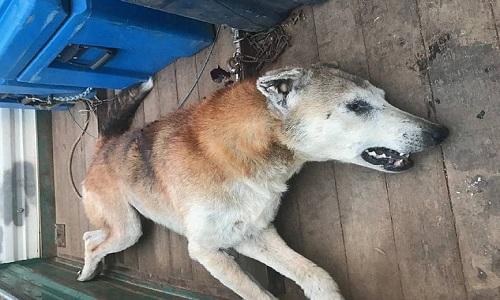 Úc: Chó hoang sát thủ giết 500 con cừu để lấy thận ăn - 1