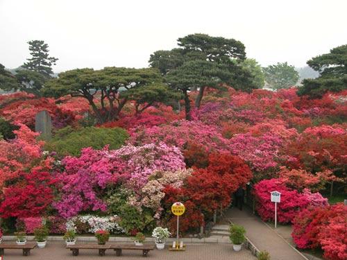 Tobu Railway đưa du khách đến với rừng hoa Đỗ Quyên hơn 800 tuổi - 1