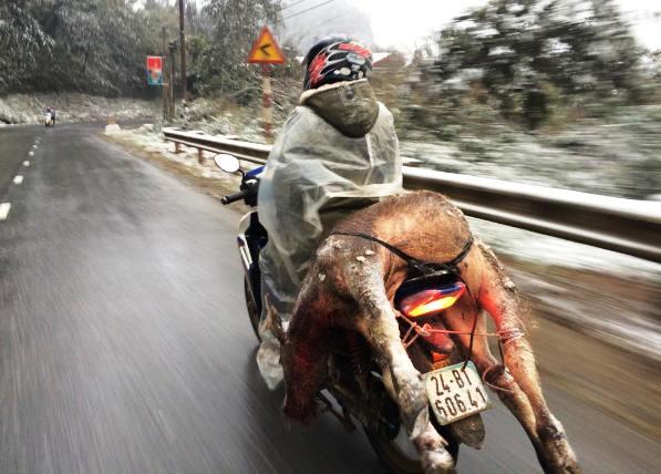 Nhiệt độ dưới 4 độ C, trâu bò ở Lào Cai chết hàng loạt - 1
