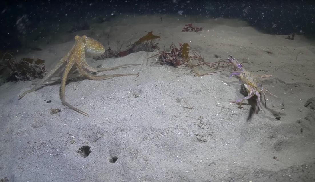 Bạch tuộc săn đuổi cua biển, không ngờ mình là mồi - 1