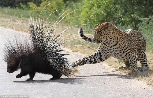 """Video: Báo đốm săn nhím, bị con mồi đuổi chạy """"thục mạng"""" - 1"""