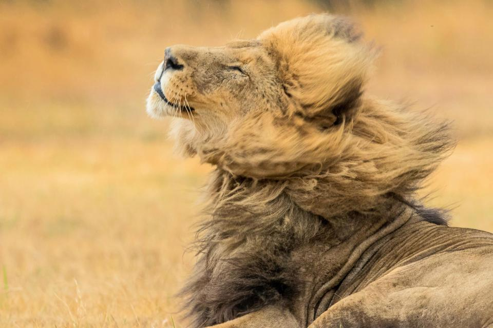 """Sư tử đẹp trai """"xõa tóc"""" tung bay trong gió - 1"""