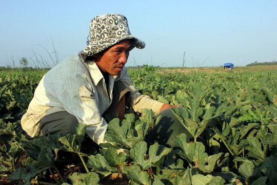 Đầu mùa, nông dân khóc ròng vì dưa hấu bán không ai mua - 2