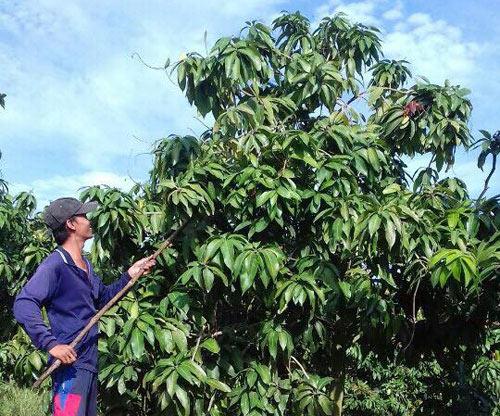 Nông dân Việt xuất ngoại thuê đất trồng xoài - 1