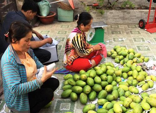 Nông dân Việt xuất ngoại thuê đất trồng xoài - 2