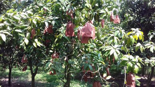 Nông dân Việt xuất ngoại thuê đất trồng xoài - 3