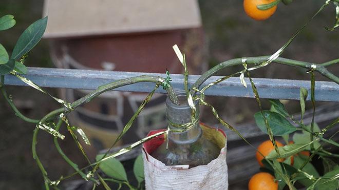 cách thức trồng ghép cây ở các chai thủy tinh như thế nào