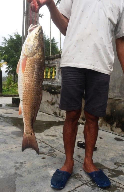 Cá sủ vàng 5kg vẫn nằm tủ đông sau 12 ngày câu được - 1