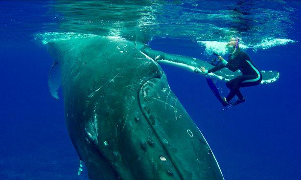 Cá voi khổng lồ dùng vây che chở, cứu nữ thợ lặn khỏi cá mập - 1