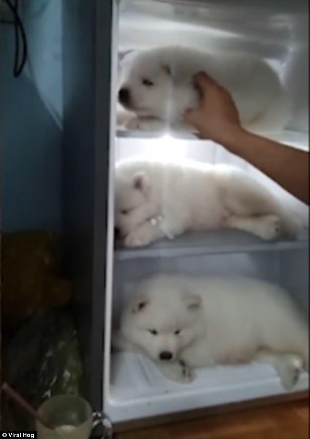 Báo Tây viết về 3 chú chó nằm ngủ trong tủ lạnh ở VN - 1