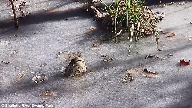Cách cá sấu sinh tồn kì diệu khi nước đóng băng hoàn toàn - 1