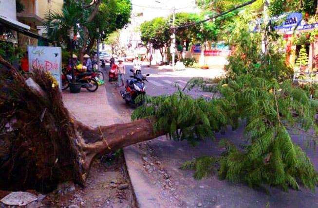 Cây ngã bật gốc do thi công vỉa hè ở Sài Gòn - 1