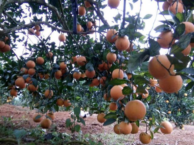 Kết quả hình ảnh cho kỹ thuật trồng cam vinh núi ba vì
