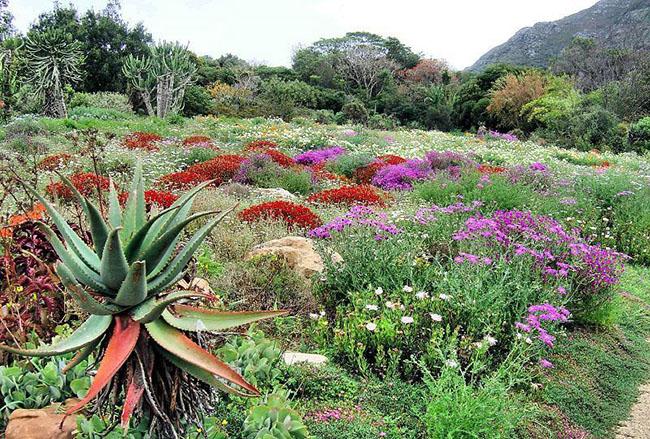 4. Vườn Kirstenbosch ở Nam Phi: Nằm ở chân Núi Table ở Cape Town, Nam Phi, Vườn Bách Thảo Quốc gia Kirstenbosch có hơn 7.000 loài thực vật khác biệt. Kirstenbosch cũng có một số khu vườn theo chủ đề nhỏ hơn cùng với một bộ sưu tập cây dương xỉ, bạch tuộc và nhiều loại thực vật khác. Một trong những khu vườn này là Medicinal Garden, nơi bảo vệ các loài thực vật khác nhau được biết đến với mục đích sử dụng chúng để làm thuốc.