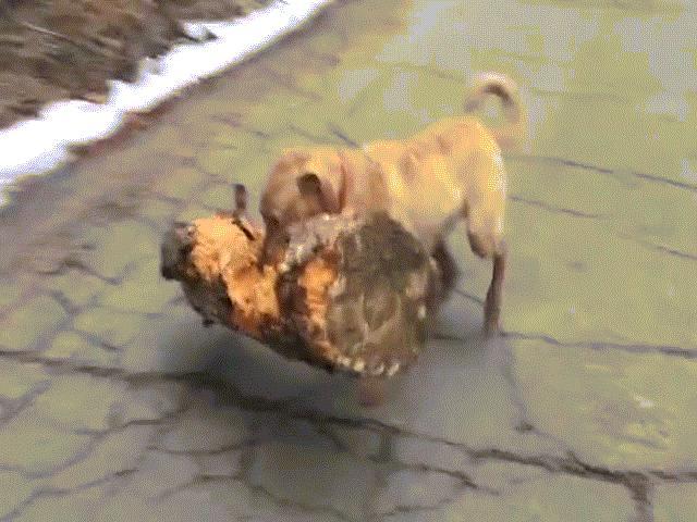 Kinh ngạc với chú chó tha khúc gỗ cực nặng làm đồ chơi