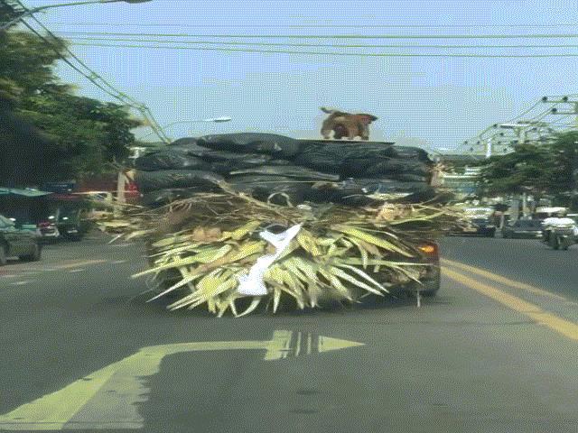 Chó giữ thăng bằng cực tài tình trên xe tải đang chạy