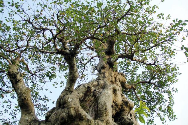 Ngắm cây 100 tuổi một gốc hai loài giá bạc tỷ của nghệ nhân ở Sài Gòn - 1
