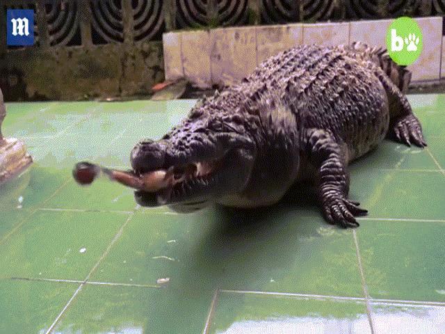 Nuôi cá sấu khổng lồ như thú cưng trong nhà