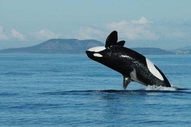 Kinh ngạc cá voi sát thủ bắt chước người, nói tiếng Anh - 1