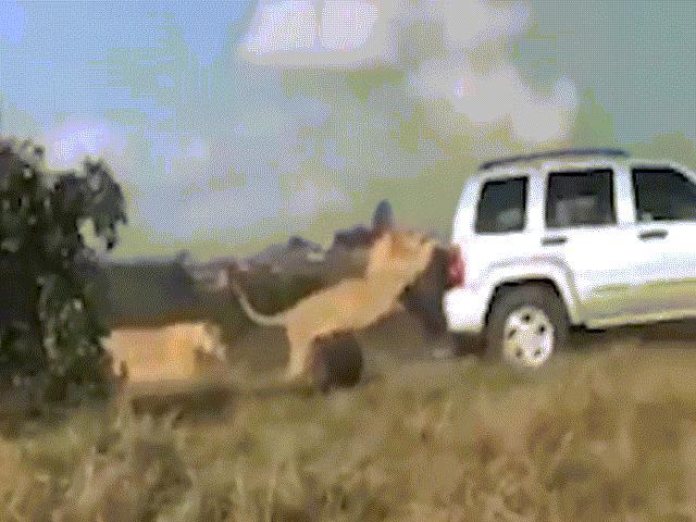 Sư tử lười bám đuôi xe du khách rong chơi