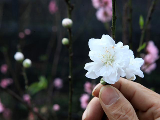 Ngắm cây đào 3 màu hoa đẹp đến ngỡ ngàng ở Hà Nội