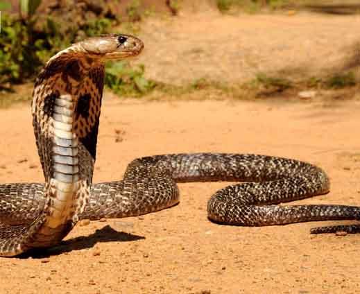 """Cầy mangut """"thôi miên"""", ăn tươi nuốt sống hổ mang chúa 3 mét - 1"""
