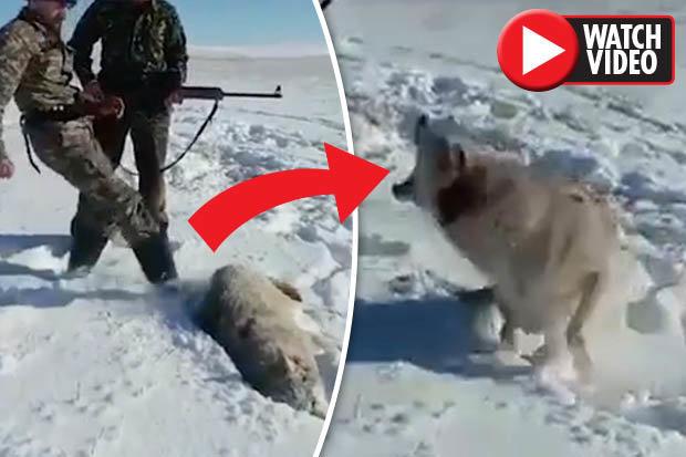 """Video: Chó sói bị """"bắn chết"""" bật dậy tấn công thợ săn - 1"""