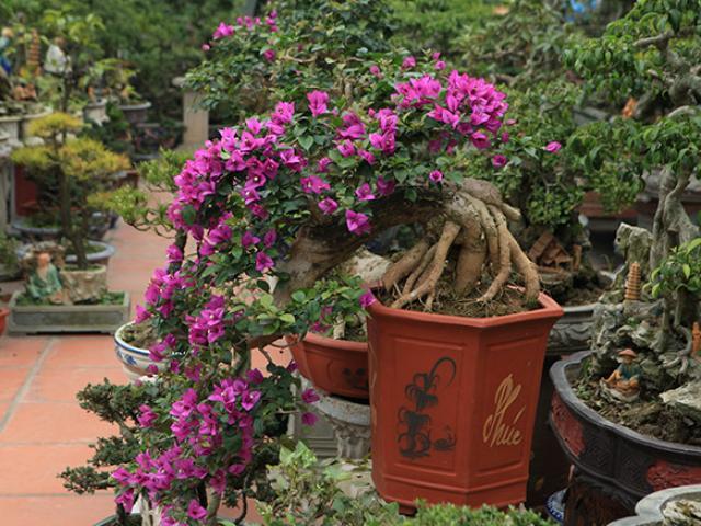 """Mãn nhãn vườn hoa giấy bonsai của người """"trăm nghề quái kiệt"""""""