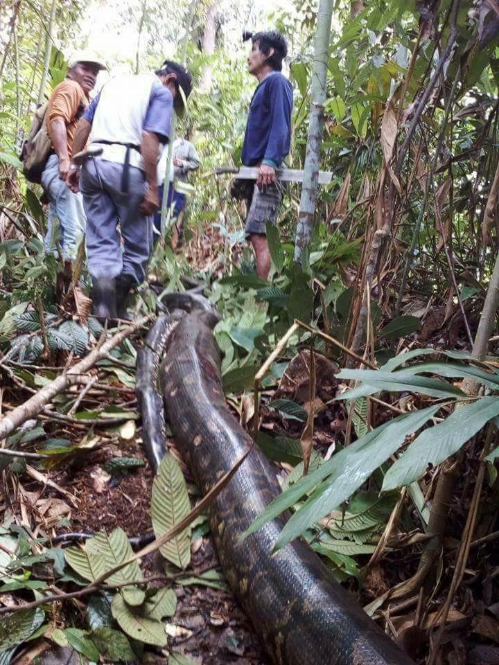 Malaysia: Bắt trăn khổng lồ nặng 1 tạ to lớn chưa từng thấy - 1