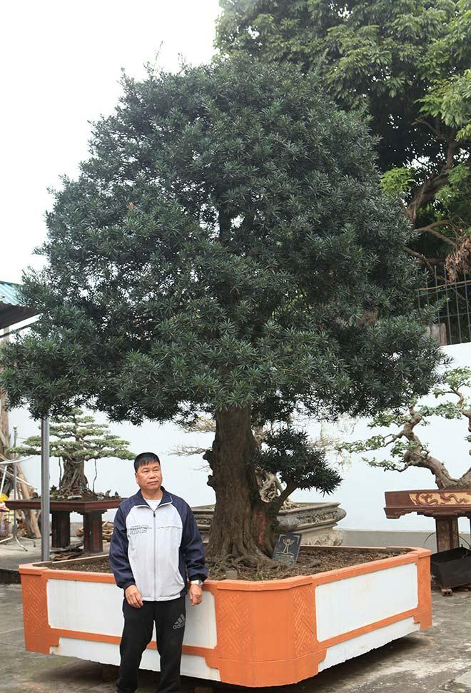 Chiêm ngưỡng cây tùng cổ, được cho là 400 năm tuổi, đắt ngang siêu xe - 1