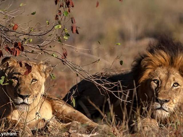 Thợ săn bị ăn thịt dã man ở Nam Phi: Không ngờ bị sư tử mai phục
